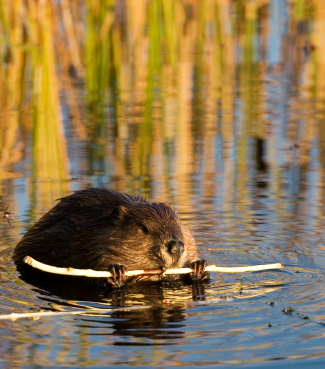 Which of the following is not a way in which wetlands filter water?